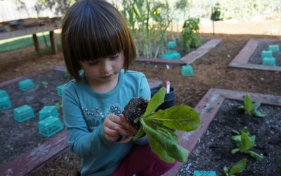 Lettuce Planting and Carrot Picking