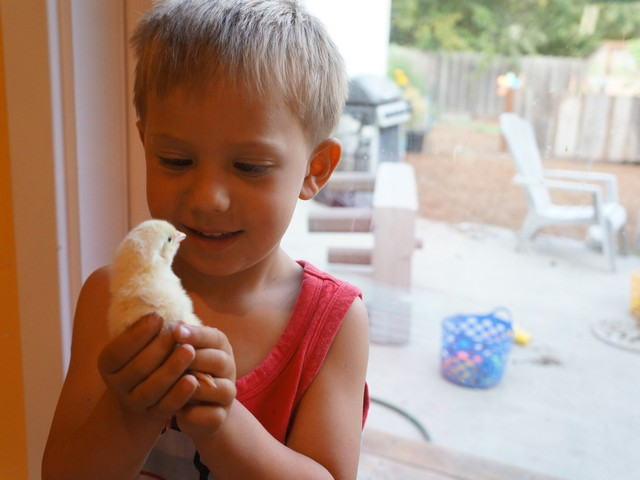 Chicks for Cochi: First Days